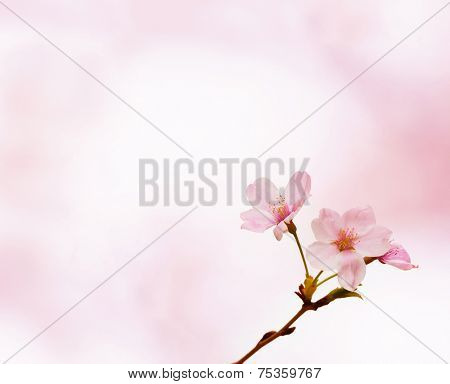 Close up of spring cherry blossom with beautiful cherry blossom pink bokeh background.