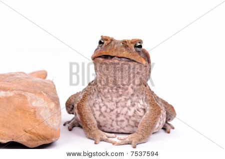 Closeup Cane Toad Isolated On White Background