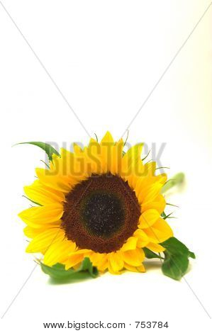 sunflower on white, tall facing camera