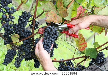 Hand cutting grape Pinot noir
