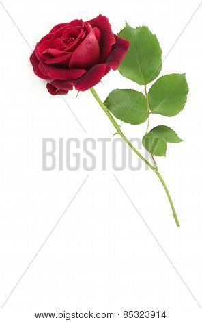 Single Red Stem Rose White Background