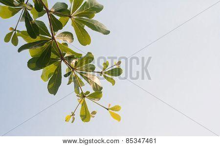 Terminalia Ivorensis Chev On Clear Sky