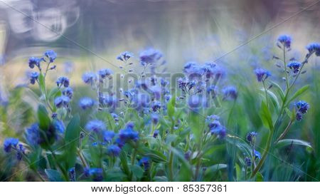 Forgetmenots Flowers