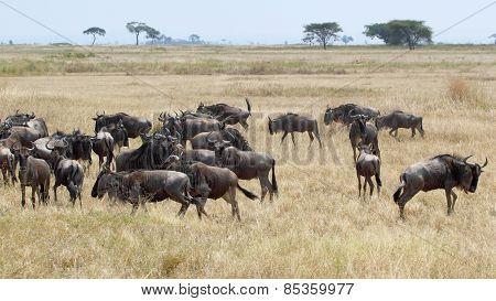 Herd Of Blue Wildebeests Grazing