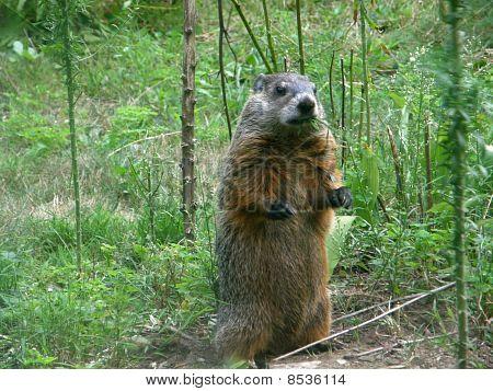 Standing Woodchuck