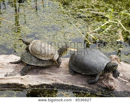 Turtles, European pond turtle, Emys orbicularis
