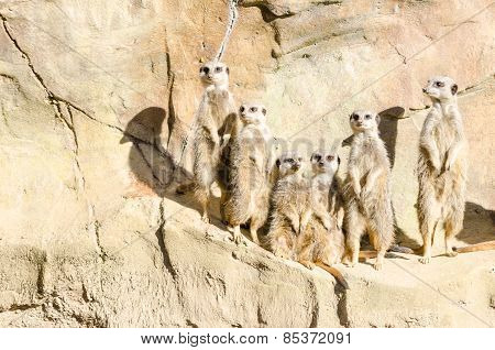Family Portrait Of A Gang Of Six Slender-tailed Meekats Standing On Hind Legs On Sentry Duty