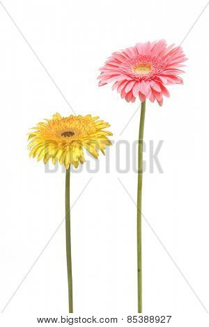 two gebera (african daisy) isolated on white