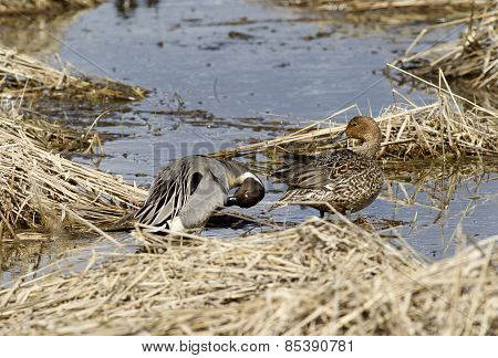 Male And Female Waterfowl.