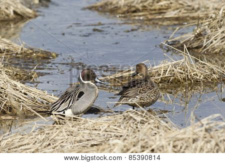 Northern Pintail Couple.