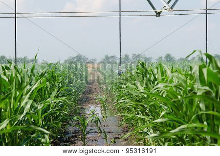 Irrigation equipment watering a crop of corn. poster