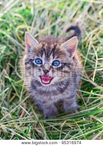 Mewing Gray Striped Kitten