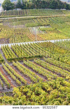 vineyards in Sion region, canton Valais, Switzerland