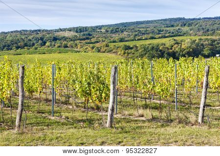 vineyard near Hnanice, Southern Moravia, Czech Republic