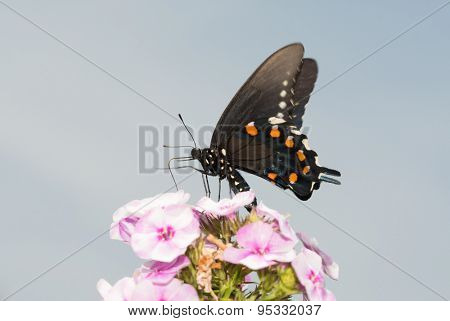 Pipevine Swallowtail butterfly feeding on pink Phlox flowers against partly cloudy summer sky