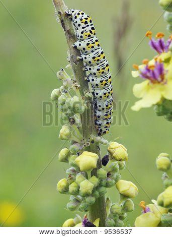 Mullein Moth Caterpiller