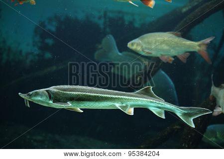 Sterlet (Acipenser ruthenus) and rudd (Scardinius erythropthalmus). Wildlife animal.