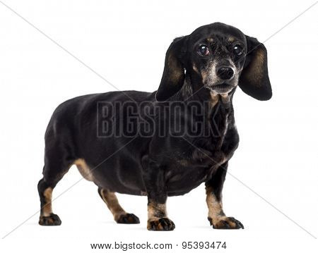 Old Dachshund in front of a white background