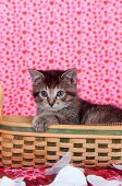 Tabby kitten in basket with rose petals and red heart background poster