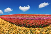 Sunny spring day in the south of Israel. Huge fields of garden buttercups /ranunculus/  ripened for harvesting poster