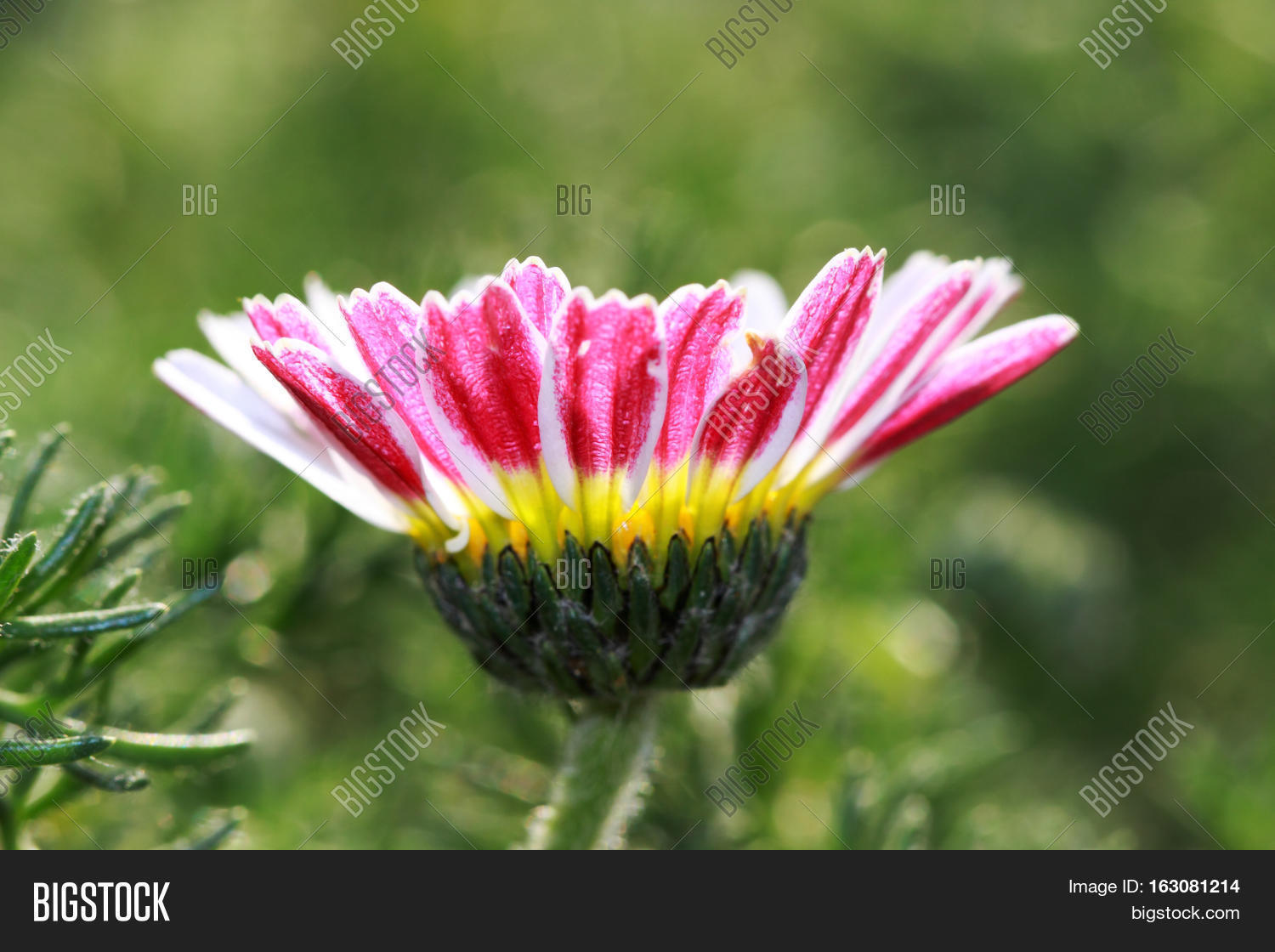 Small Flower Daisy Image Photo Free Trial Bigstock