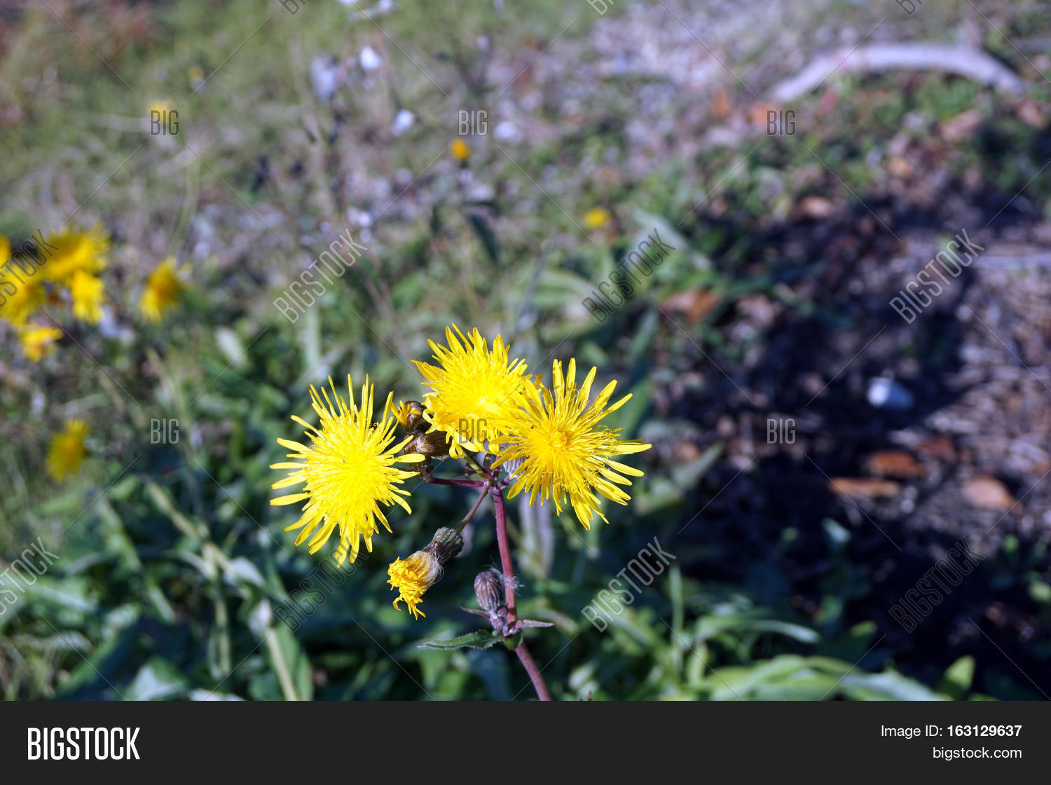 Yellow flowers field image photo free trial bigstock yellow flowers of the field sow thistle sonchus arvensis also called corn sow mightylinksfo