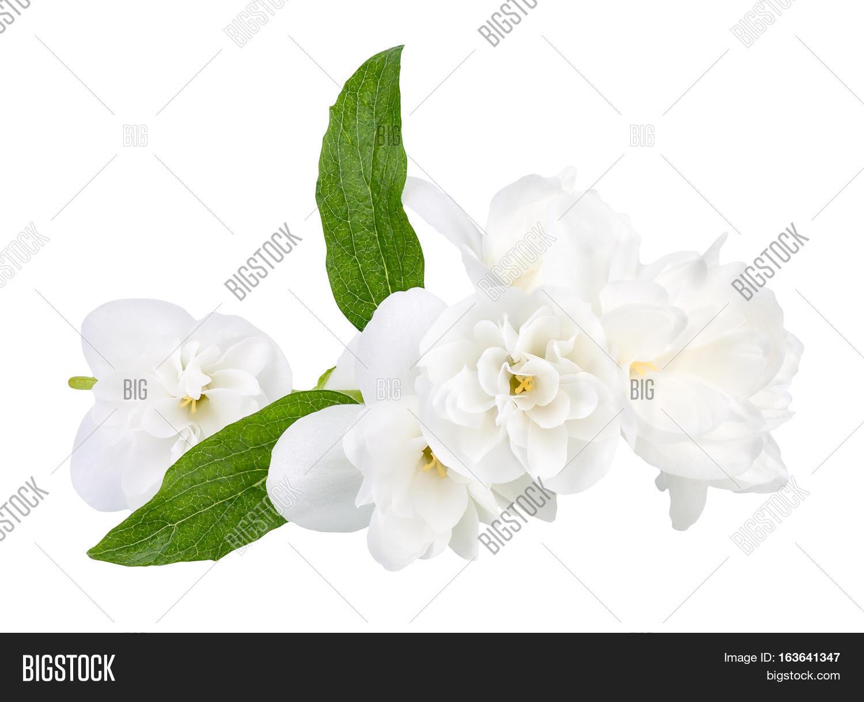 Branch Jasmine Flowers Image Photo Free Trial Bigstock