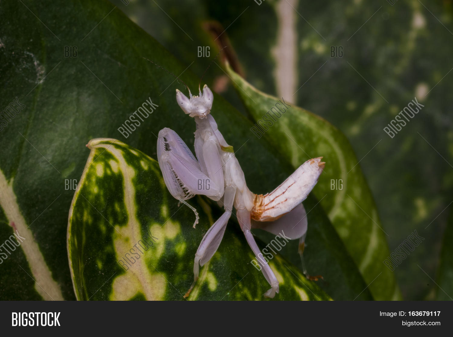 Mantispink Orchid Image Photo Free Trial Bigstock