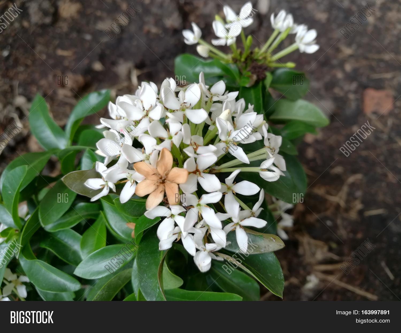 White Flowering Shrub Image Photo Free Trial Bigstock