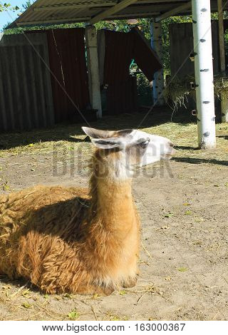 Llama in the paddock in a zoo