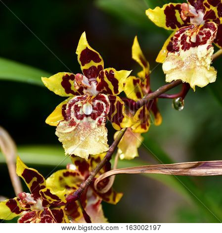 Rare tiger orchid flower close up in botanical garden Brno