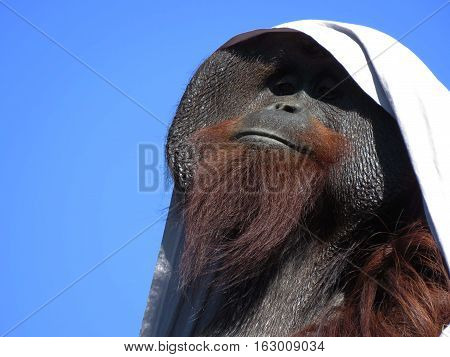 portrait of the great ape the orangutan