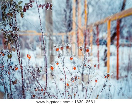 Snow winter in town. Dog rose (wild rose) with frosty red rose hips, urban red and yellow pipes on the blur background. Village in a winter day and snow. Winter frosty trees on snow white background.