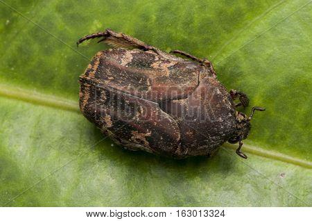 Cockchafer Beetle  Beetle runs on green leaf