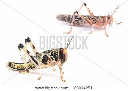 Locust Desert locust (Schistocerca gregaria) pupa and adult insect