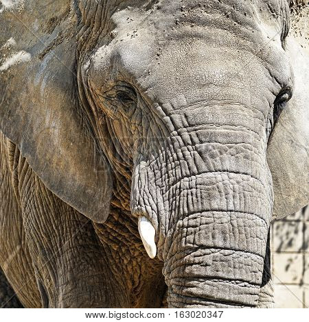 Portrait of an African elephant in a Zoo