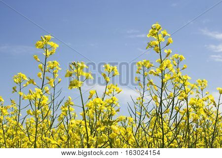 horizontal close up image  of a yellow canola field under a clear blue sky in the summer time.