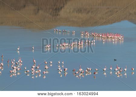 Flamingos at the Laguna Ramaditas Altiplano Bolivia