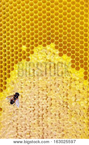 Honey bee Honeycomb close-up. honeycomb with bee background.
