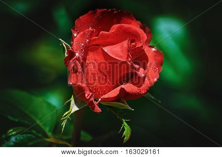 Image of Red Rose Flower with Water Drops