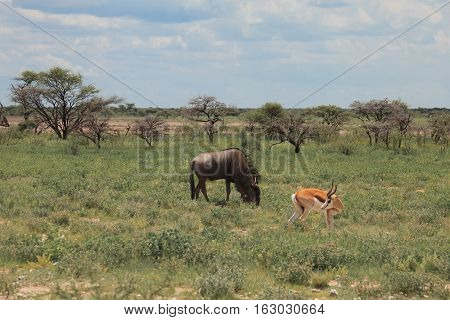 Big Wildebeest Grazing And Eat With Buatifui Springbok In The Bushes At The Etosha Park