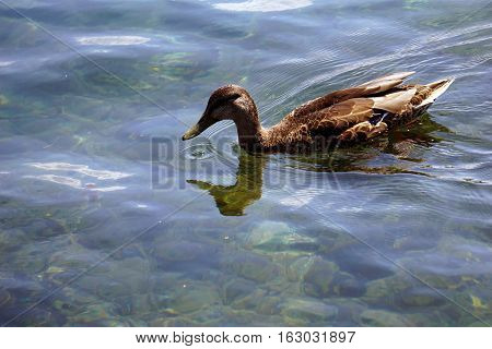 A mallard duck (Anas platyrhynchos) swims in the water at the Zorn Park Public Beach near downtown Harbor Springs, Michigan.