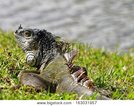 Green Iguana on green grass by lake in South Florida
