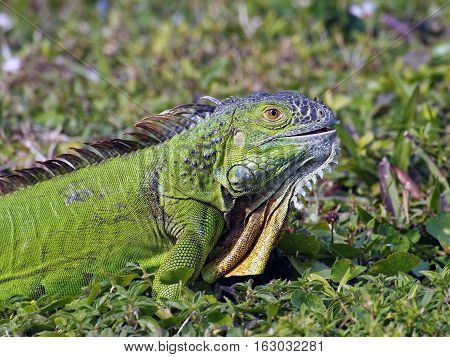 Young Green Iguana with mouth slightly open and green leaf showing on side of mouth