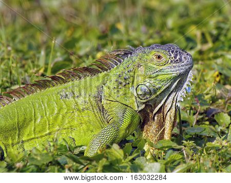 Green Iguana with neck dewlap partially entended camouflaged in grass blending into environment