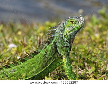 Alert baby Green Iguana camouflaged in grass by lake