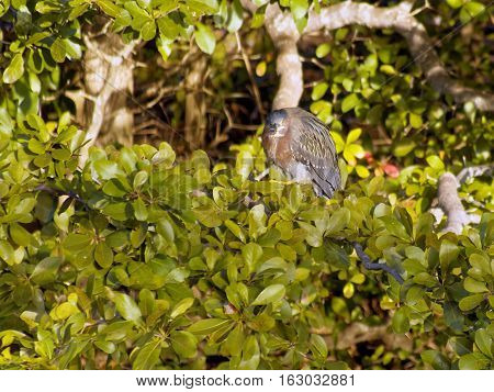 Puffed up Green Heron in foliage. Profile view with head turned looking straight at viewer