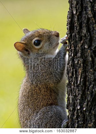 Extreme close up of an Eastern Gray Squirrel on the trunk of a tree blurred green background