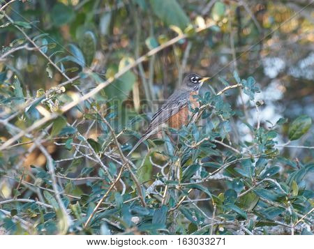 American Robin nestled in amongst bushes in Florida during winter season