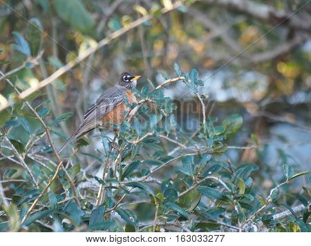 American Robin in Florida for winter perching in green foliage profile view with head slightly turned